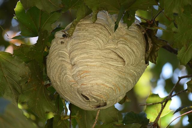 come eliminare un nido di calabroni