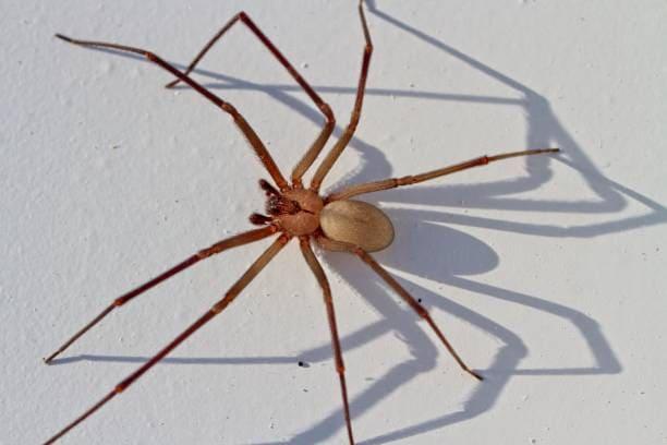 ragni più pericolosi al mondo