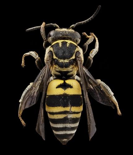 tipi di vespe e come distinguerli