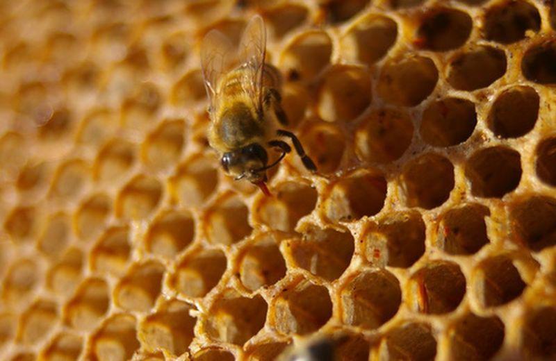 Differenze tra i favi di ape e quelli di vespa
