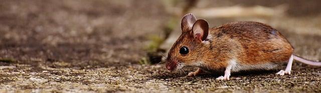 come allontanare i topi dal giardino