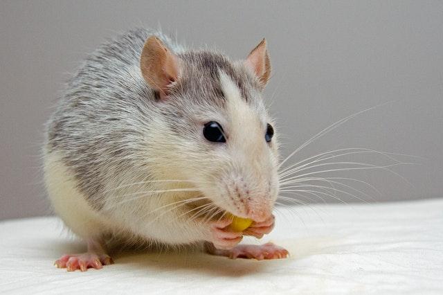 perché i topi sono pericolosi